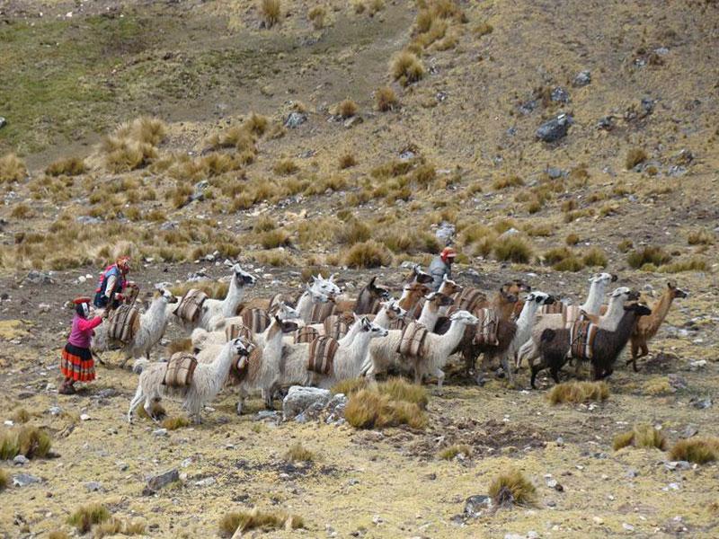 Llamas in Lares Trek