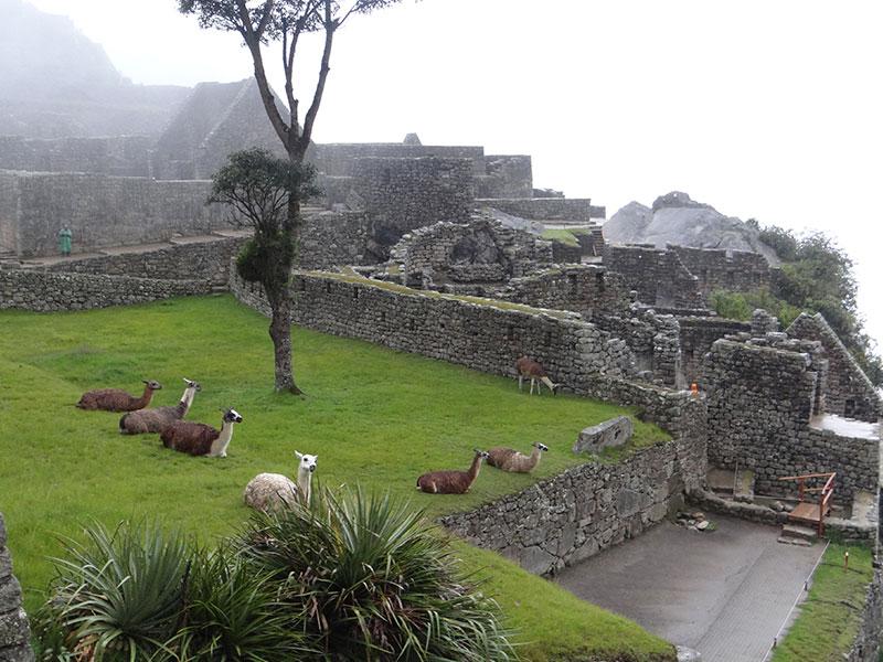 Llamas in Machupicchu
