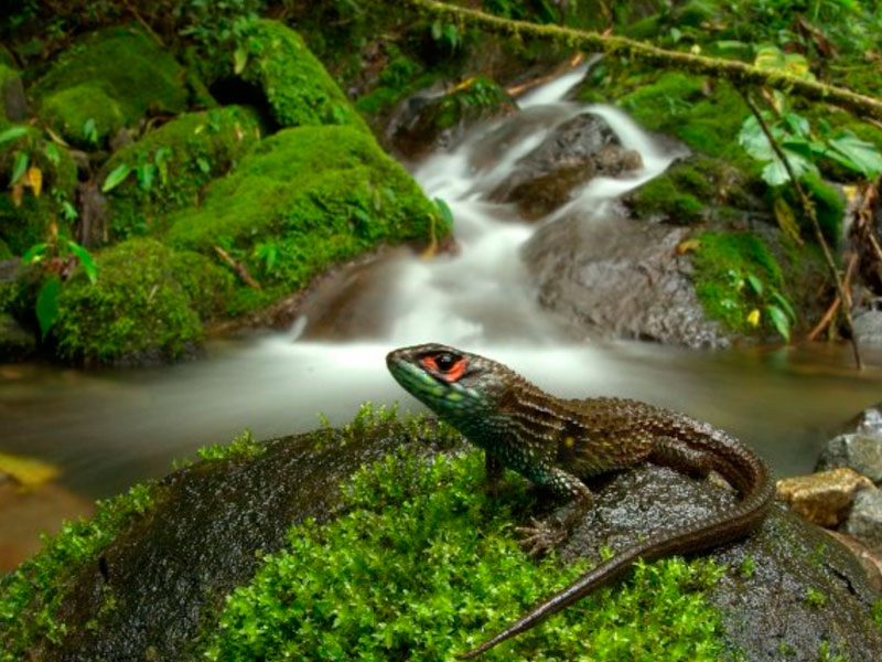 Iguana in Manu